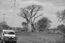 White Land Rover driving by a big baobab tree in Botswana